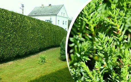 Rychlerostoucí zahradní Thuje Smaragd 40 - 60 cm