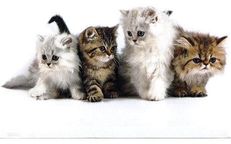 Obraz kočky, OBR469764