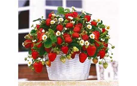 Hrnkové jahody 200 semínek - vypěstujte si sladkou a šťavnatou pochoutku!