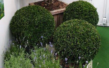 Živý ozdobný Buxus ve tvaru koule 30-40cm