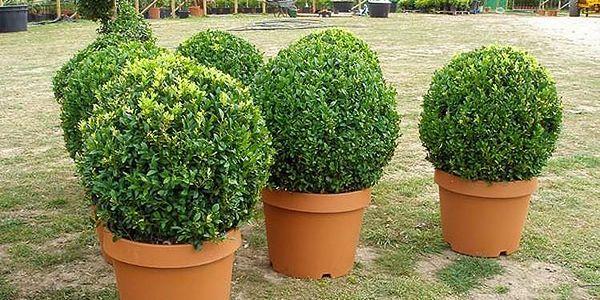 Koule ozdobná Buxus 25-30cm - živá rostlina3