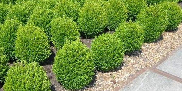 Koule ozdobná Buxus 25-30cm - živá rostlina2