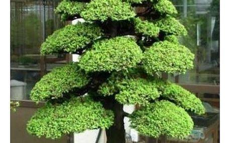 Semena japonského cedru ve stylu bonsai - 100 ks