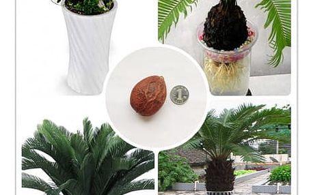 Semeno vzácného cykasu ve stylu bonsai - 1ks