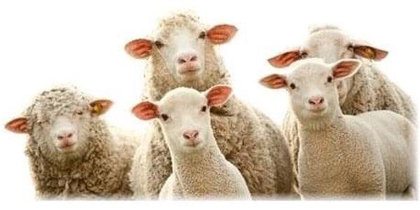 2G Lipov Bederní ledvinový pás Merino ovčí vlna 56x23cm2