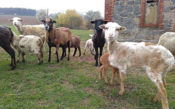 Pastevcem na den   Počaply u Březnice   květen - říjen   cca 12 hodin, záleží na času vašeho příjezdu4
