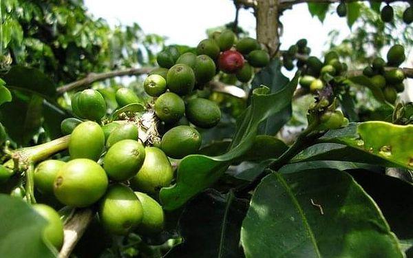 Čerstvě mletá zelená káva, 500 g3