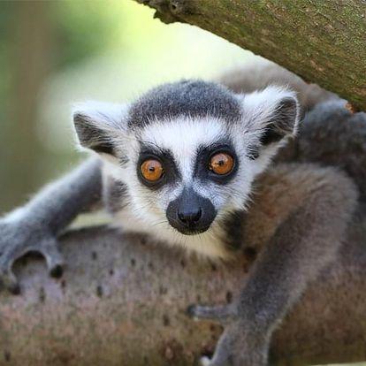 Celodenní vstup do Zooparku Zájezd s lemury i největšími králíky