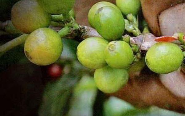 450 g balení čerstvě mleté zelené kávy Peru Negrisa Organic 100% arabica2