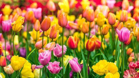 Mix cibulek tulipánů z Holandska k zasazení
