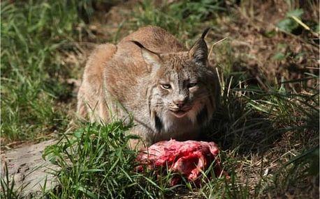 Zážitkový program u Brna: Krmení kočkovitých šelem