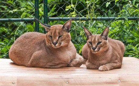 Jedinečný zážitek: Seznamte se s kočkovitými šelmami, zúčastněte se jejich krmení a komentované prohlídky