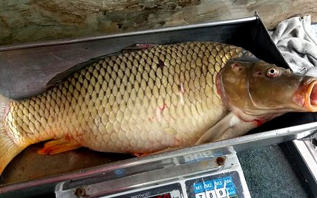 Prodej čerstvě vylovených ryb: 1 kg pstruha či kapra