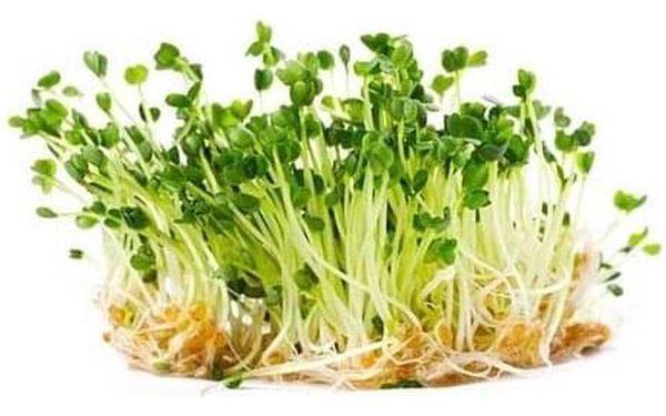 Červené zelí – semena na klíčky, 10 g4
